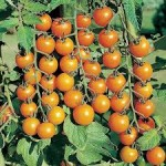 Sungold tomate